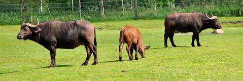 Dwa dorosłych afrykański bizon i łydka Obrazy Royalty Free