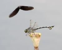 Dwa dragonflies Obrazy Royalty Free