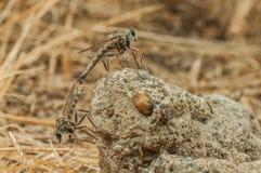 dwa dragonflies Zdjęcia Royalty Free