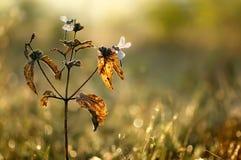 dwa dragonflies na suchej roślinie fotografia royalty free