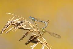 Dwa dragonflies siedzą wpólnie w formie serca na lato łące zdjęcie stock