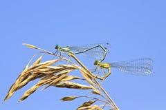 Dwa dragonflies siedzą wpólnie w formie serca na lato łące obrazy royalty free