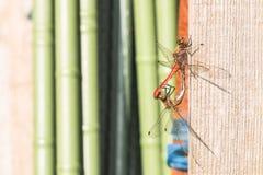 Dwa dragonfly bawić się na drewnianym Obraz Royalty Free