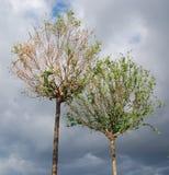 Dwa drzewa przeciw niebu Zdjęcie Royalty Free