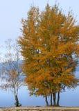 Dwa drzewa w jesieni Zdjęcia Royalty Free