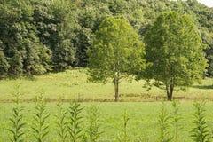 Dwa drzewa w polu Zdjęcia Royalty Free