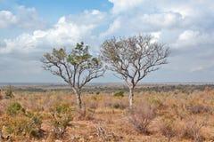 Dwa drzewa w vastness Kruger park narodowy, Południowa Afryka Obrazy Stock