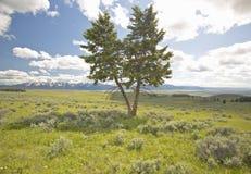 Dwa drzewa, wiosna obszary trawiaści i kwiatu w Centennial dolinie blisko Lakeview, MT obrazy royalty free