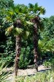 Dwa drzewka palmowego w ogródzie Obraz Royalty Free