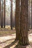 Dwa drzewny bagażnik Obraz Stock
