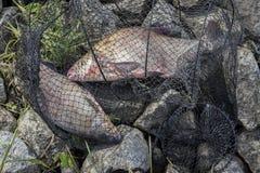 Dwa duża złapana ryba, leszcze w rybaka ` s zarabiają netto na plaży, w trawie Pojęcie pomyślny połów, szczęście, pomyślność Fotografia Stock