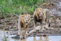 Dwa dużego męskiego lwa przy wodą Zdjęcie Stock