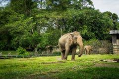 Dwa dużego słonia w klatce z basenu otaczaniem ogrodzeniem i drzewo fotografią brać w Ragunan zoo Dżakarta Indonezja obrazy stock
