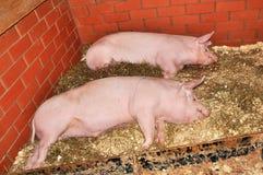 Dwa dużej świni Zdjęcia Stock