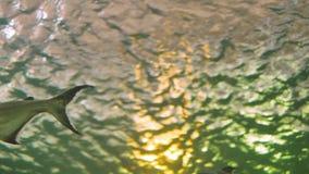 Dwa dużej ryby pływa w zielonym akwarium zbiory