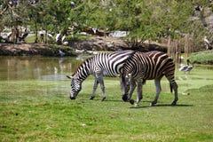 Dwa duża zebra Obrazy Royalty Free