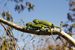 Dwa Dywanowego kameleonu (Furcifer lateralis) Zdjęcia Royalty Free