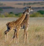 Dwa dzieci żyrafa w sawannie Kenja Tanzania 5 2009 Africa tana wschodnich maasai marszu spełniania Tanzania wioski wojowników Obrazy Royalty Free