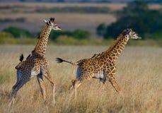 Dwa dzieci żyrafa w sawannie Kenja Tanzania 5 2009 Africa tana wschodnich maasai marszu spełniania Tanzania wioski wojowników Obraz Stock