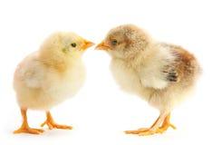 Dwa dzieci kurczak Zdjęcia Royalty Free