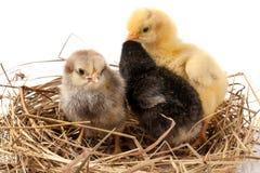 Dwa dzieci kurczak w słomianym gniazdeczku na białym tle Fotografia Stock