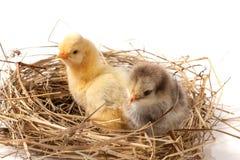 Dwa dzieci kurczak w słomianym gniazdeczku na białym tle Zdjęcie Royalty Free