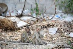 Dwa dzieci małpi obsiadanie i łasowania jedzenie na tło gracie, mo Obrazy Royalty Free