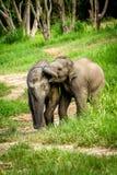 Dwa dziecka słonia bawić się w obszaru trawiasty polu. Obrazy Royalty Free
