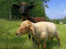 Dwa dziecka sheeps na łące fotografia royalty free