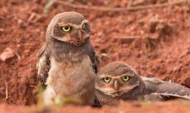 Dwa dziecko Grzebie sowy Obraz Stock