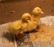 Dwa dziecko kaczki przy cztery dniami starymi w pudełku zdjęcia royalty free