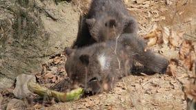 Dwa dziecko niedźwiedzia bawić się z kawałkiem jedzenie zbiory