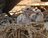 Dwa dziecko pelikana Zdjęcia Royalty Free