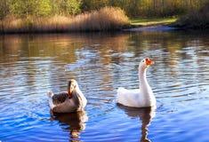 Dwa dzika gąska na jeziorze w wodzie Zdjęcia Royalty Free