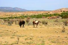 Dwa dzikiego konia w pustyni Obrazy Stock
