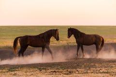 Dwa dzikiego konia w pyle zdjęcie stock