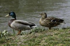 Dwa dzikiej kaczki Obrazy Royalty Free