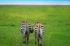 dwa dzikiej zebry Fotografia Stock