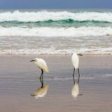 Dwa egrets na brzeg Obrazy Stock