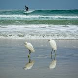 Dwa egrets na brzeg Obrazy Royalty Free