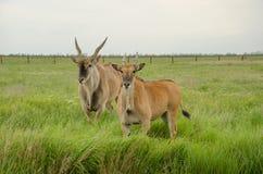 Dwa eland na zieleni pola spojrzeniu przy kamerą Obraz Royalty Free