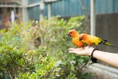 Dwa electus papugi na ręce Fotografia Stock