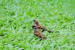 Dwa Eurazjatyckiej drzewnego wróbla przechodnia montanus pozyci na zielonej trawie fotografia stock