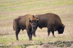 Dwa Europejski żubrów byków pasać Zdjęcia Stock