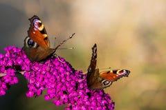 Dwa Europejski paw; Aglais io; na fiołkowym kwiacie Fotografia Royalty Free