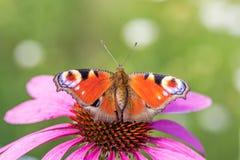 Dwa Europejski x28 & paw; Aglais io& x29; na menchia kwiacie Zdjęcia Royalty Free