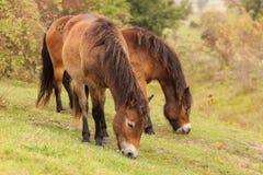 Dwa Exmoor piękny konik obrazy stock