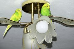 Dwa falistej papugi siedzą na świeczniku zdjęcia stock