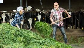 Dwa fermers przygotowywa trawy Obraz Stock