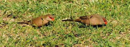 Dwa finches podskakuje na gazonie zdjęcie stock